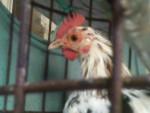 DALMATA - Huhn (1 Jahr)