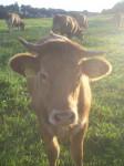 Kuh auf der Weide - Kuh