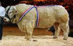 Taureau charolais - Männlich Kuh (1 Jahr)