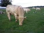 c'est un taureau charolais est il s'appelle Diego - Männlich Kuh (3 Jahre)