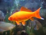 Nemo - Männlich Fisch