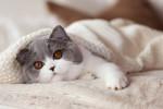 Un British Shorthair bicolore gris et blanc dans une couverture