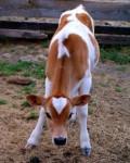 Buttercup - Kuh (1 Jahr)
