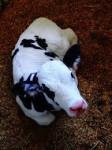 bony - Männlich Kuh (7 Monate)
