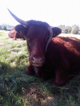 Torbelle - Kuh (1 Jahr)