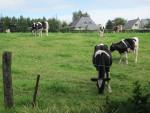 Vache - Kuh