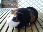 pupuce - Kurzhaar Hausmeerschweinchen (4 Jahre)