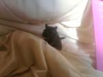 gerboulle - Maus (1 Jahr)