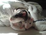 Lovaï & Zephir - Männlich Ratte (1 Jahr)