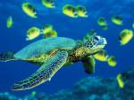 lilas - Schildkröte (1 Monat)