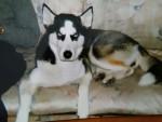Liria - Wolf (2 Jahre)